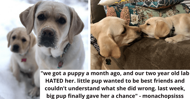 "viral imgur thread about a dog who hated the new adopted puppy at first then grew to love it thumbnail includes two pictures of a Labrador and a Labrador puppy '""we got a puppy a month ago, and our two year old lab HATED her. little pup wanted to be best friends and couldn't understand what she did wrong. last week, big pup finally gave her a chance"" - monachopsisss'"
