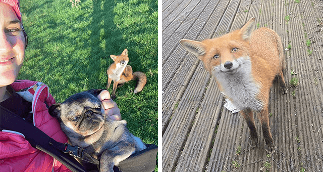 story about a fox cub whose brother got run over getting adopted and becoming friends with a dog and a puppy thumbnail includes a picture of a smiling for and a picture of a woman holding a pug and a fox smiling in the background