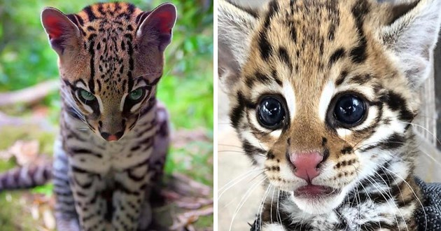 ocelot cat appreciation gallery -thumbnail includes two images of ocelots