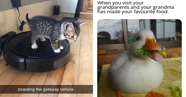 weeks best and cutest wholesome animal memes - thumbnail of happy duck and little kitten riding a roomba