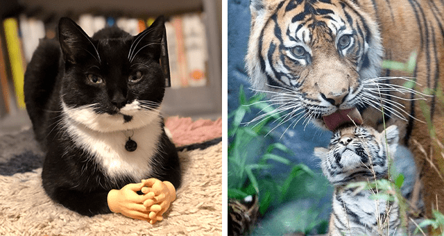 this week's collection of pictures that are worth more than 1000 words thumbnail includes two pictures including a cat with small plastic hands in front of its paws and another of a tiger licking the head of a proud-looking tiger cub