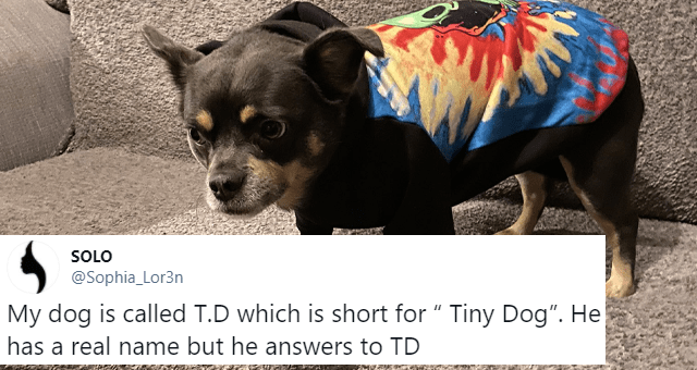 "viral tweets of people giving their pets uncreative but accurate names thumbnail includes a picture of a small dog on a couch 'Dog breed - SOLO @Sophia_Lor3n Replying to @AlanMassenburg My dog is called T.D which is short for "" Tiny Dog"". He has a real name but he answers to TD 5:22 PM Jan 4, 2021 - Twitter for iPhone 98 Retweets 18 Quote Tweets 5K Likes'"