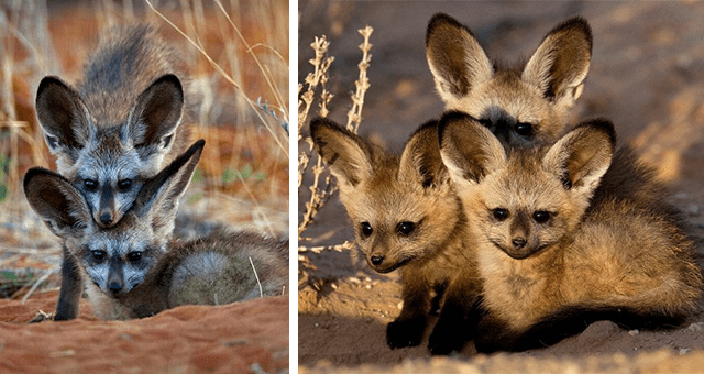 pictures of bat-eared foxes thumbnail includes two pictures including one of three baby bat-eared foxes hanging out together and another of two baby bat-eared foxes on top of each other