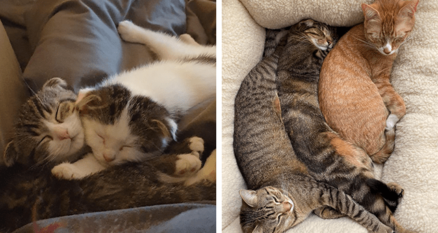 pictures of cats cuddling and snuggling thumbnail includes two pictures including one of two kittens snuggling and another of four cats in one big cuddle pile