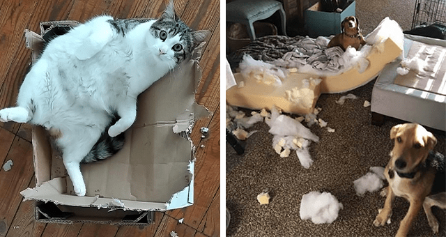 pictures of cats and dogs destroying things thumbnail includes two pictures including a fat cat inside of a destroyed cardboard box and another of two dogs and a destroyed couch