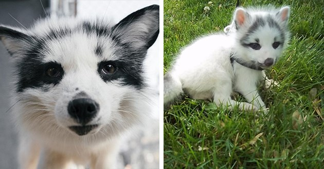 appreciation gallery for the canadian marble fox - thumbnail of canadian marble fox and baby fox