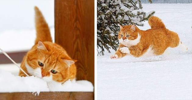 ginger cat who loves the snow - thumbnail of orange cat in the snow