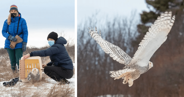 story about an injured owl getting released back into the wild thumbnail includes two pictures including two women letting an owl out of a carrier and another of a snowy owl flying