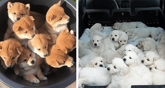 pictures of many puppies hanging out together thumbnail includes two pictures including one of a bunch of puppies in a bucket and another of a bunch of while puppies in a car