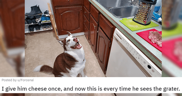 pictures of huskies thumbnail includes a picture of a happy husky next to a cheese grater 'I give him cheese once, and now this is every time he sees the grater. u/Forosnai'