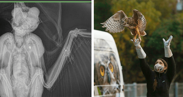 story about an owl that was shot three times recuperating and getting released back into the wild thumbnail includes two pictures including one of a scan of an owl with three gunshot wounds and another of a great horned owl being released back into the wild