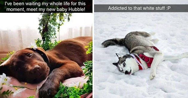 "uplifting pure and wholesome dog snapchats - thumbnail of two dog snaps one of a dog laying down, happy ""ive been waiting my whole life for this moment, meet my new baby hubble!"" another snap of a husky in the snow ""addicted to that white stuff :P"""