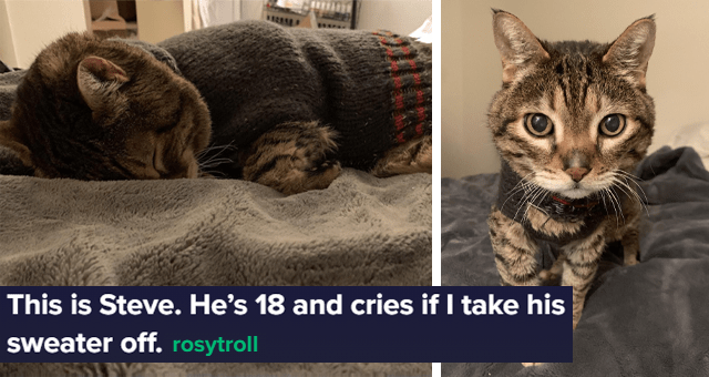 viral thread about a senior cat who cries when his owner takes his sweater off thumbnail includes two pictures of a cat wearing a sweater 'This is Steve. He's 18 and cries if I take his sweater off rosytroll'