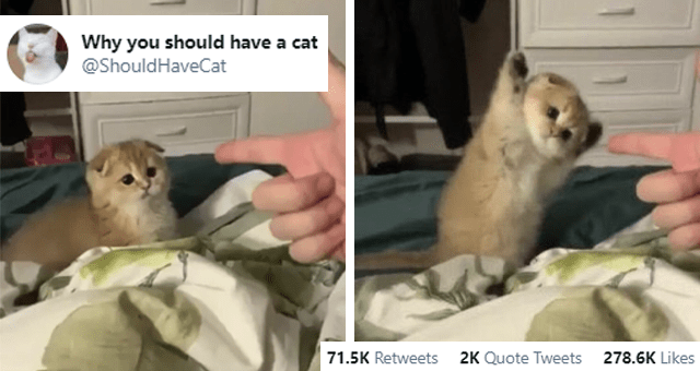 this week's collection of animal tweets thumbnail includes two pictures including someone making finger guns at a cat then another of a cat raising its paws in defeat 'Organism - Why you should have a cat @ShouldHaveCat 000 9:47 PM - Jan 14, 2021 · Twitter for Android 71.5K Retweets 2K Quote Tweets 278.6K Likes'