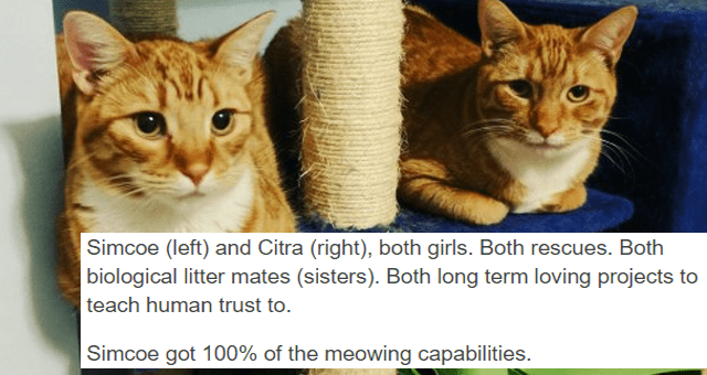 tumblr thread about a cat who doesn't know how to meow thumbnail includes a picture of two orange cats with the caption 'Text - Simcoe (left) and Citra (right), both girls. Both rescues. Both biological litter mates (sisters). Both long term loving projects to teach human trust to. Simcoe got 100% of the meowing capabilities.'