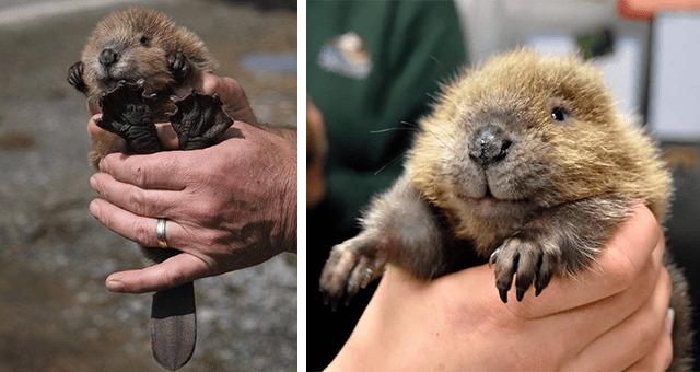 pictures of baby beavers thumbnail includes two pictures of cute baby beavers held in people's hands