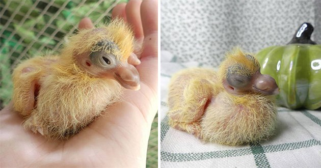 gallery of baby pigeons - thumbnail of two baby pigeons resting