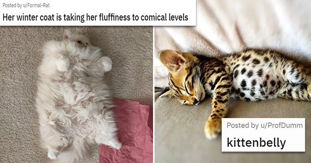 adorable pics of floofy cat bellies - thumbnail includes two images of cat belly floof | Her winter coat is taking her fluffiness to comical levels | kittenbelly
