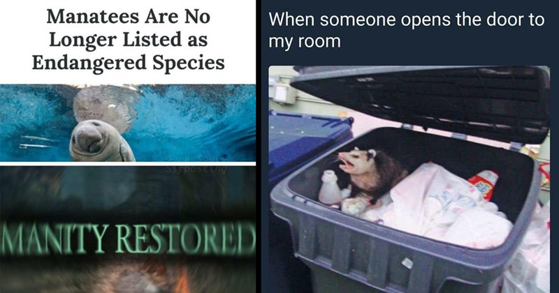 wholesome, cute memes, possum, tumblr memes, funny memes, crabs, memes, funny animal memes, animal memes, animals, frogs | SCIENCE Manatees Are No Longer Listed as Endangered Species Sijposting MANITY RESTORED | Oh, Worm SkreechyBat someone opens door my room possum in a trash can