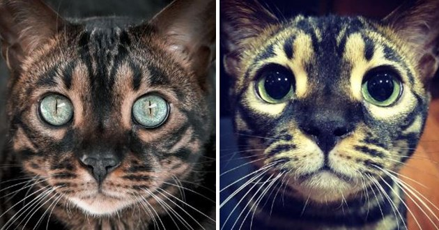 mose the charcoal bengal on instagram - thumbnail of two images of mose the charcoal bengal