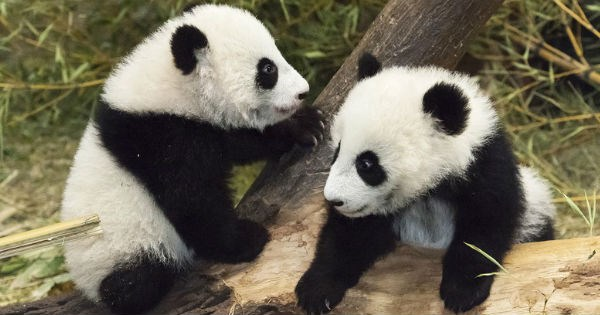 panda Fluffy zoo cute twins - 1344517