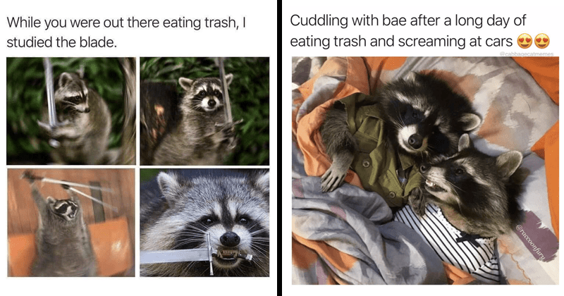 Funny raccoon memes, nihilist memes, animals, lol, dank memes, dark humor | While were out there eating trash studied blade. | Cuddling with bae after long day eating trash and screaming at cars OO @cabbagecatmemes @raccoonfury