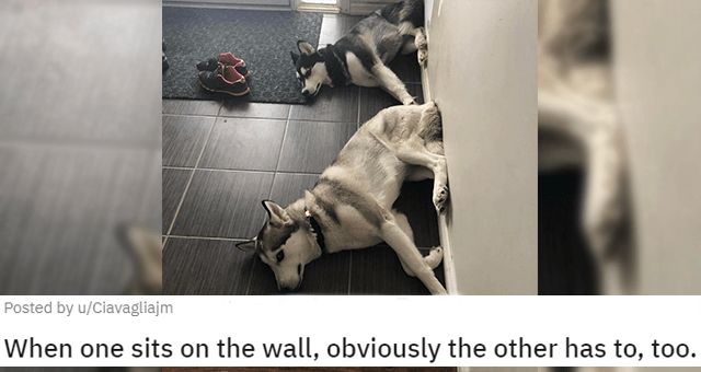 posts from r/whatswrongwithyourdog thumbnail includes a picture of two dogs sitting with their butts up against a wall 'When one sits on the wall, obviously the other has to, too u/Ciavagliajm'