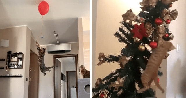 videos of cats being cats thumbnail includes two pictures including a cat jumping really high to catch a balloon and another of a cat falling off a Christmas tree