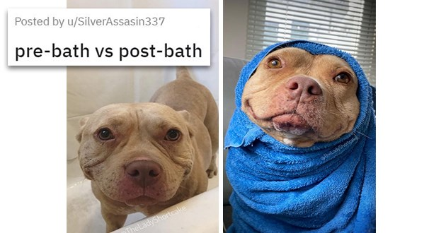 pics and vids of the cutest animals of the week - thumbnail of Pitbull shortcake smiling pre and post bath