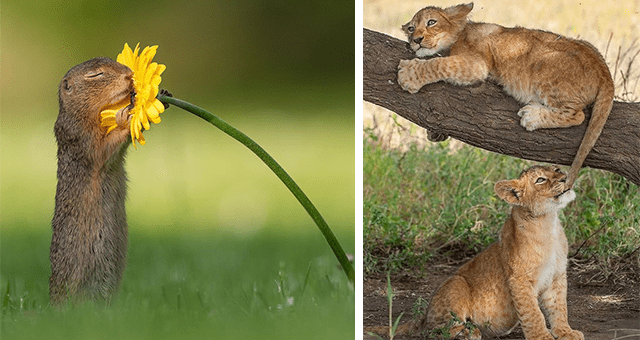 collection of pictures worth more than 1000 words thumbnail includes two pictures including a squirrel sniffing a flower and another of two lion cubs one on a branch the other biting the other's tail