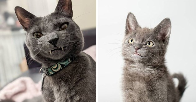 adorable cat with toothy grin - thumbnail includes two images - one of baby wolfie and one of adult wolfie, both smiling