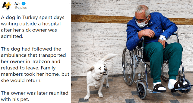 collection of positive dog tweets thumbnail includes a picture of a dog next to a man in a wheelchair and a tweet 'Dog - AJ+ Ej @ajplus ... A dog in Turkey spent days waiting outside a hospital after her sick owner was admitted. The dog had followed the ambulance that transported her owner in Trabzon and refused to leave. Family members took her home, but she would return. The owner was later reunited with his pet. 6:59 PM - Jan 24, 2021 - TweetDeck 459 Retweets 62 Quote Tweets 2.8K Likes'
