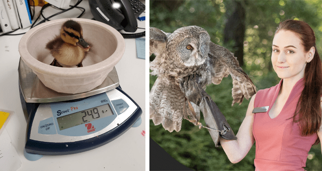viral imgur thread of a Wild Animal Tech sharing a day in her life thumbnail includes two pictures including a woman holding an owl and another of a baby duckling inside of a plate on a scale