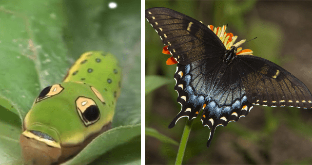 viral thread about caterpillar to butterfly and moth transformations thumbnail includes two pictures including a green caterpillar and a butterfly