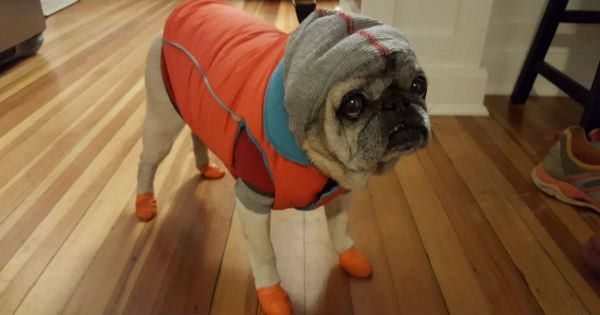 pug dreading to go out into the snow is