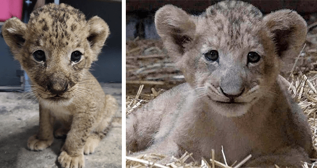 story about a lion cub conceived through assisted reproduction in the Singapore Zoo thumbnail includes two pictures of a baby lion cub including one of the lion cub smiling