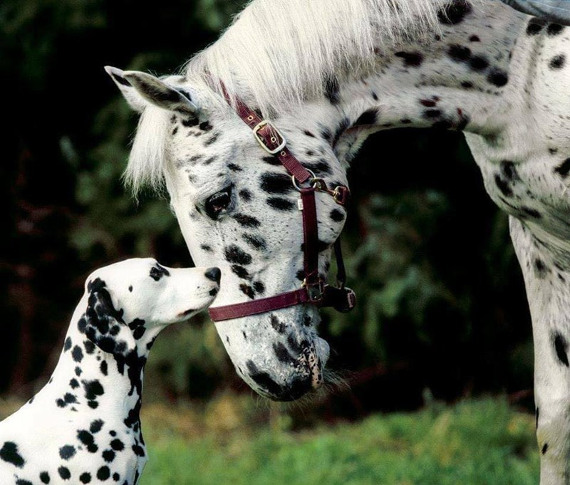 horses and dogs that share similar coat patterns - thumbnail of dalmation dog with horse with similar spots