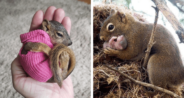 pictures of baby squirrels thumbnail includes two pictures including a mom squirrel holding her baby and another of a baby squirrel wearing a sock sweater sleeping in someone's palm