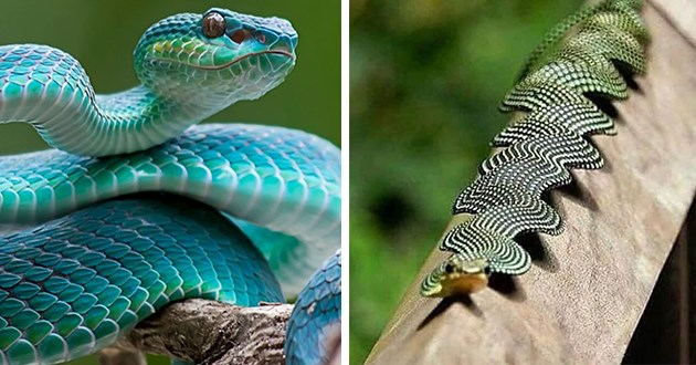 gorgeous and colorful snakes - thumbnail of two snakes one blue and one green