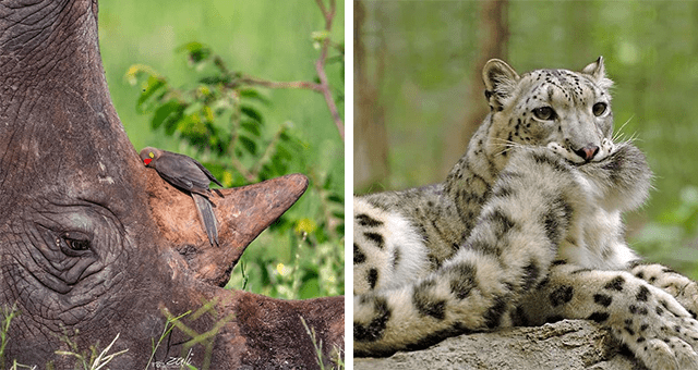 collection of pictures worth more than 1000 words thumbnail includes two pictures including a bird sleeping on a rhino's horn and another of a snow leopard holding its tongue in its mouth