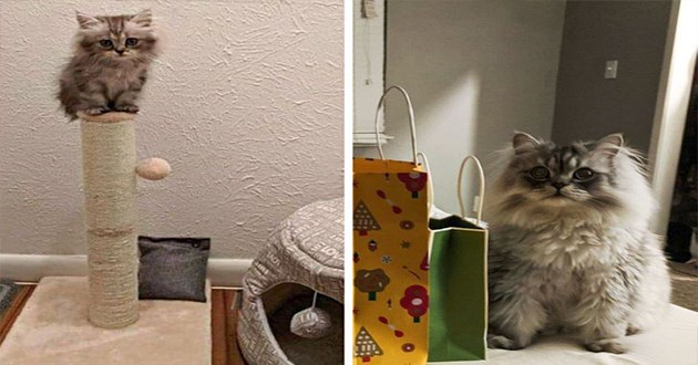 pets glow ups - thumbnail of tiny kitten on scratching post and then the same cat grown up