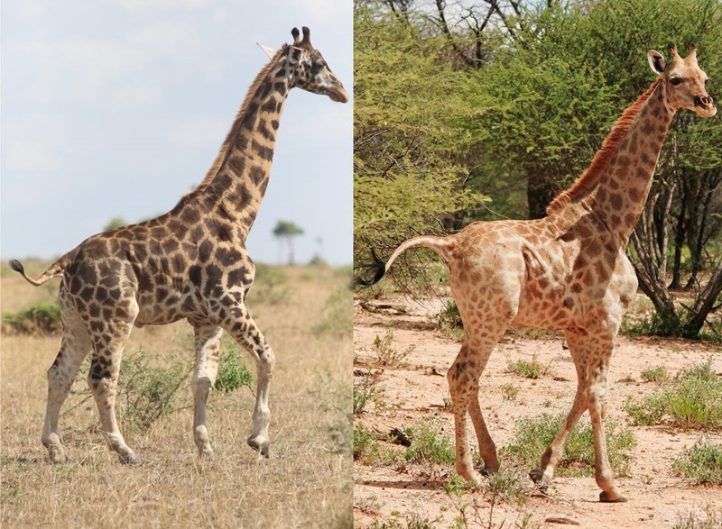 These dwarf giraffes are half the size of average sized giraffes.
