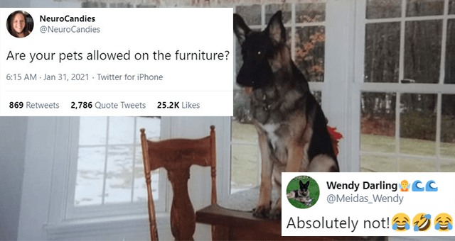 funny and cute tweets about allowing your pets on the furniture thumbnail includes a picture of a dog sitting on a desk and two tweets 'Rectangle - NeuroCandies @NeuroCandies Are your pets allowed on the furniture? 6:15 AM - Jan 31, 2021 - Twitter for iPhone 869 Retweets 2,786 Quote Tweets 25.2K Likes' 'Dog - Wendy Darling CC @Meidas_Wendy ... Replying to @NeuroCandies Absolutely not! 6:51 PM Jan 31, 2021 · Twitter for Android'