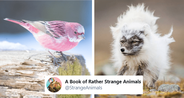 tweets about strange but cool animals thumbnail includes a picture of a pink bird and another of a fox shedding its coat ' Book of Rather Strange Animals @StrangeAnimals'