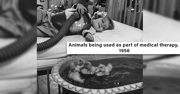 "vintage photos of people and animals - thumbnail of little girl in the hospital looking at little ducklings ""Animals being used as part of medical therapy, 1956"""