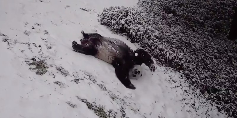 These giant pandas love playing in the snow