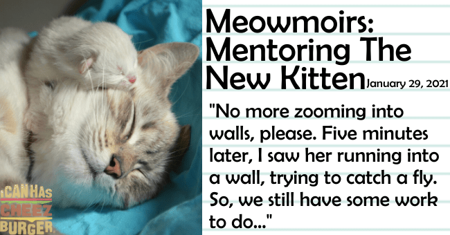 "the nineteenth entry of Meowmoirs diary of a cat thumbnail includes a picture of a kitten lying on a cat 'Cat - Meowmoirs: Mentoring The New Kittenlanuary 29, 2021 ""No more zooming into walls, please. Five minutes later, I saw her running into a wall, trying to catch a fly. So, we still have some work to do..."" CANHAS CREEZ BURGER'"