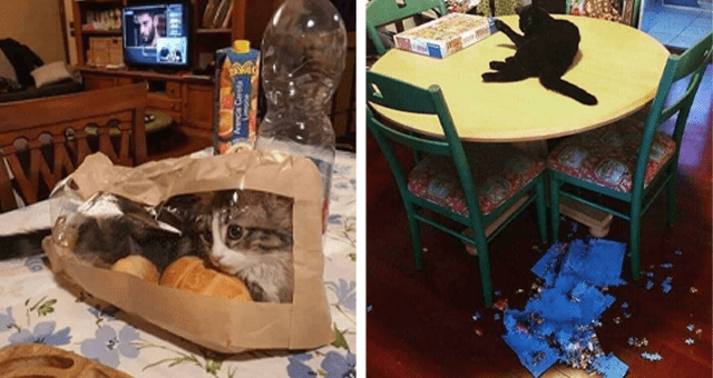 weird pictures of cats thumbnail includes a picture of a cat inside of a see-through bag and another of a cat on a table and a puzzle on the floor