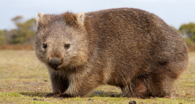 Scientists figured out why wombats have cube-shaped poop