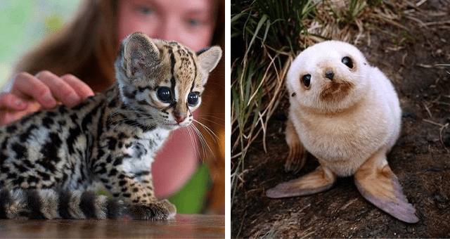 Pictures of baby animals thumbnail includes two pictures including one of a baby seal and another of a baby wild cat